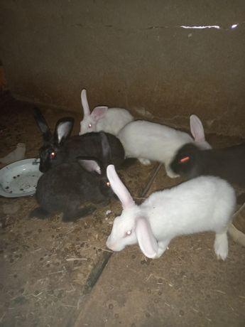 Ұй Қояндары, домашные кролики сатылады