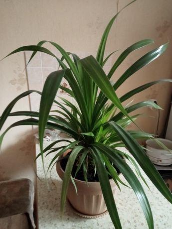 Продается декоративная пальма
