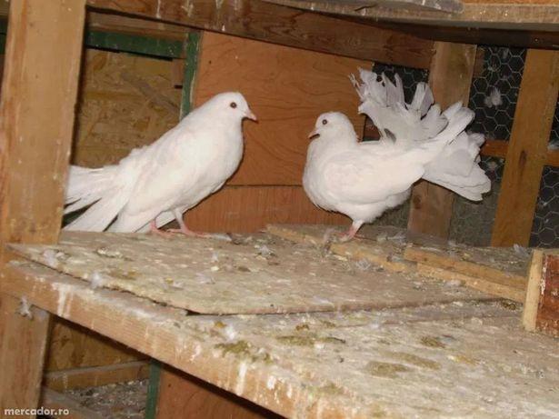 Vand Porumbei Pavă / Încălţaţi frumoşi