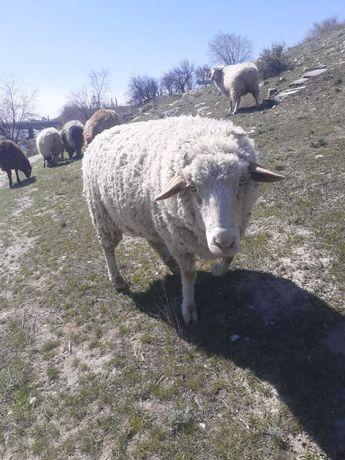 Кой, койлар, баран, овцы,