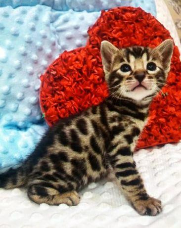Бенгальские котята PREMIUM