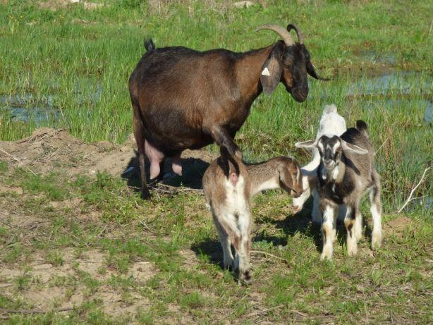 Lapte de capra crud autentic pur proaspat muls de rasa Anglo-Nubiana