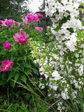 Пионы садовые, продам излишки