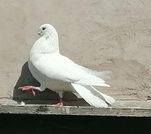Porumbei albi de vânzare