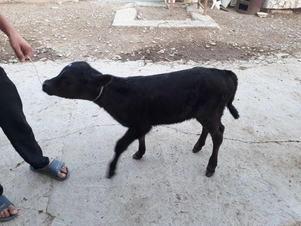 Продаём теленка девочка возраст 10 дней от хорошей коровы отец Ангус.
