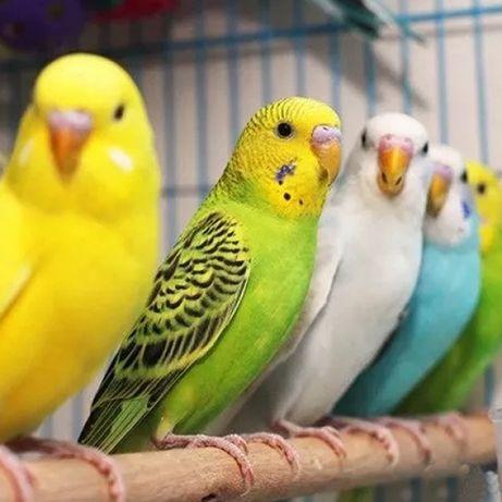 Волнистый попугаи