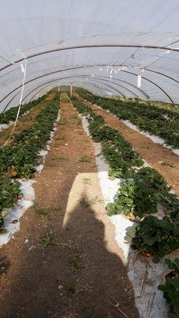 Capsuni pentru solar plante frigo