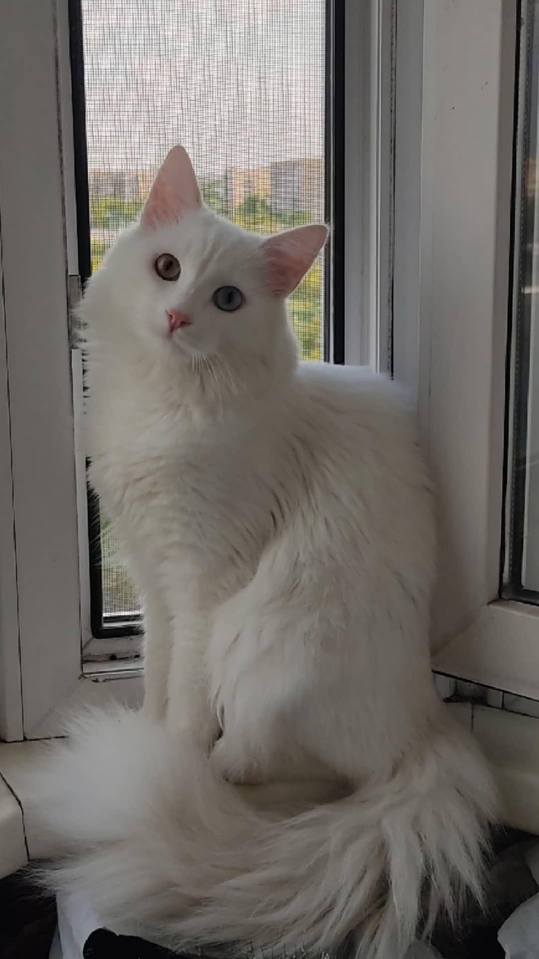 Котик турецкая ангора ищет подругу