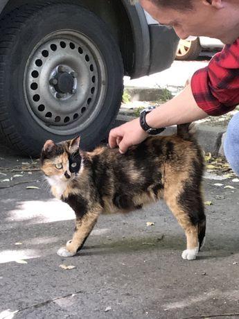 Donez pisica calico