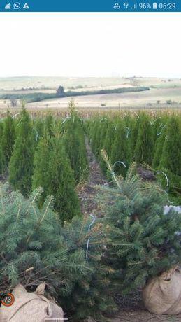 Plante si copacii ornamentali  Tuia brazi mesteceni tei mai multe deta