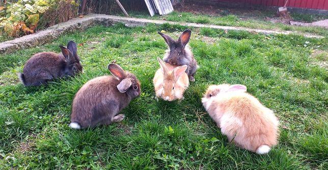 Vând 9 iepuri rasa mixta