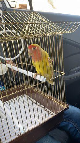 Попугай неразлучник (девочка)