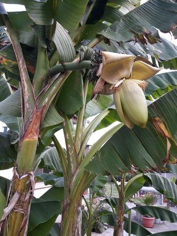 Бананова палма , Банан