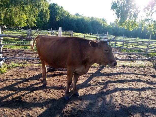 Продам   срочно яловая корова и 4 бычка