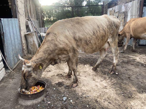 продаю дойных коров!