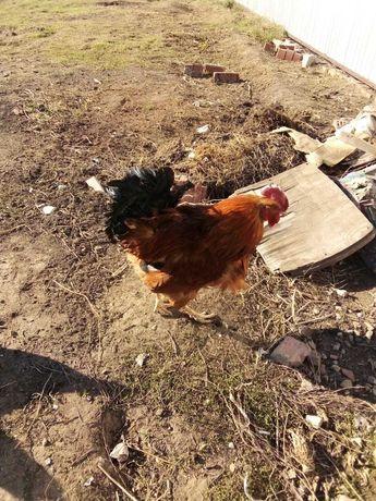 Продаются курица и петух