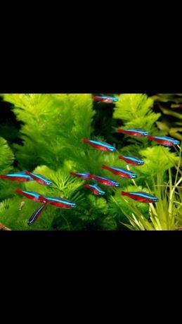 Неон красные стайная рыбка