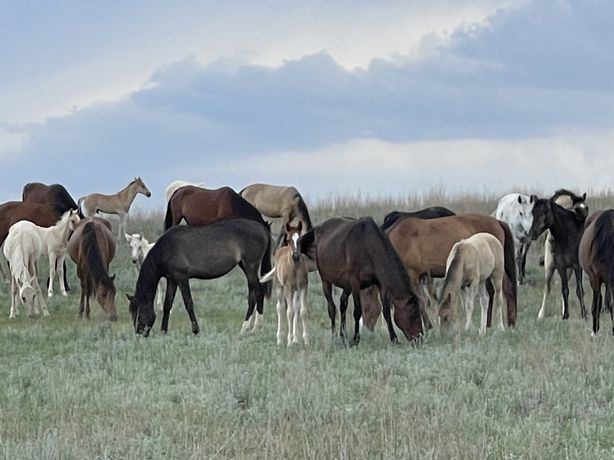 Продам лошадей на Разведение на мясо, оптом, Сохым с откорма