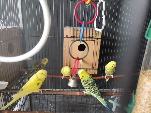 Papagali peruși 2 galbeni și 2 verzi