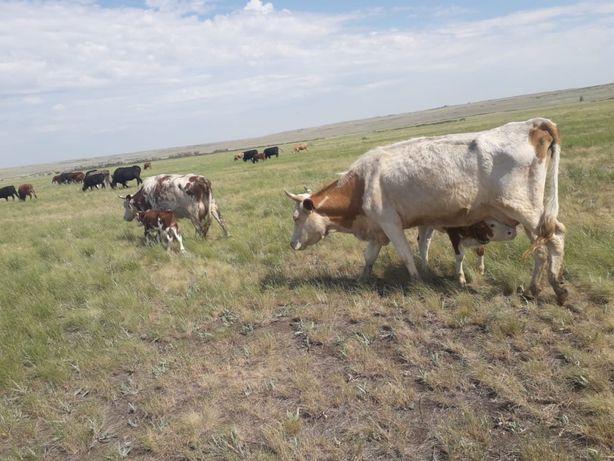 Коровы с подсосными