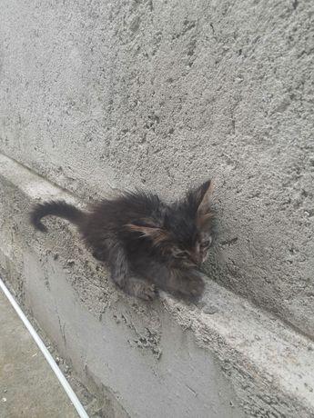 Donez pui de pisică 2 luni