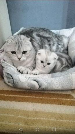 Чистокровные шотландские и британские котята!