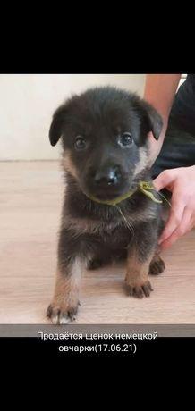 Срочно!!! Продам щенка немецкой овчарки