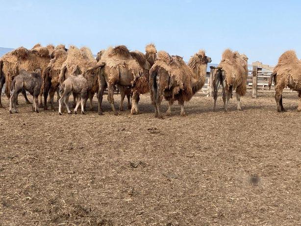Продаются верблюды