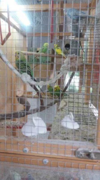 Продавам вълнисти папагали гр. Белица - image 1