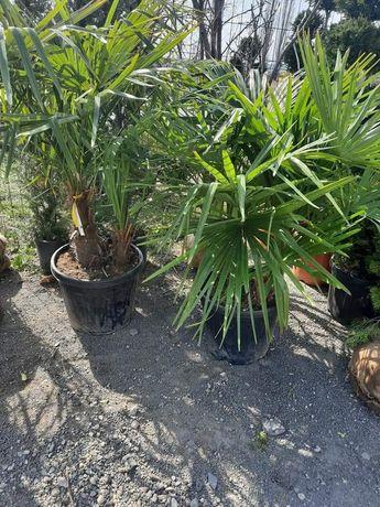 Vând palmieri la cele mai avantajoase oferte