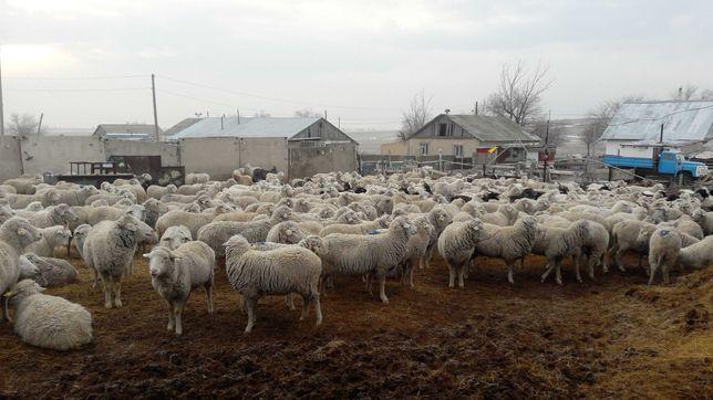 меринос овцематки, кой, серке, козы, ешки, лак, коровы