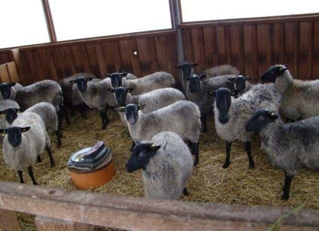 Бараны овцы ягнята Чистокровные племенные гиссарские едильбай ромаишс