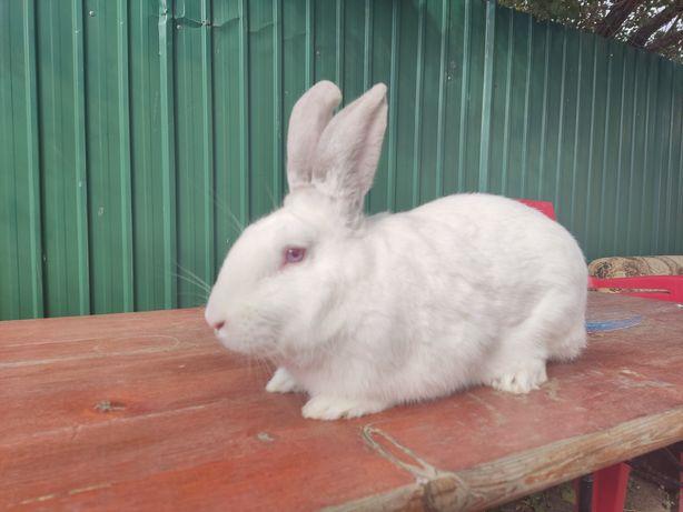 Продам кролика, 5 месяцев
