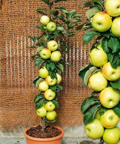Pomi fructiferi columnari!!!