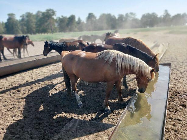 Срочно Жылкы, лошади цены разные