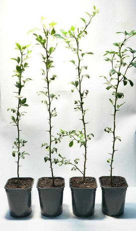 Lamai salbatic - rezistent la inghet ( Poncirus Trifoliata )