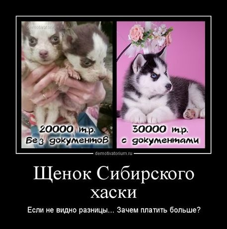 Продаются чистокровные щенки Сибирского Хаски