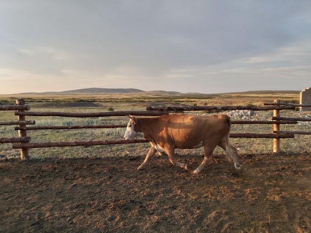 Корова, сиыр, бука, бык