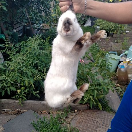 Кролик-самка, продам