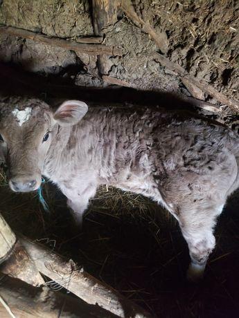 Vand vitel in varsa de o luna jumatate