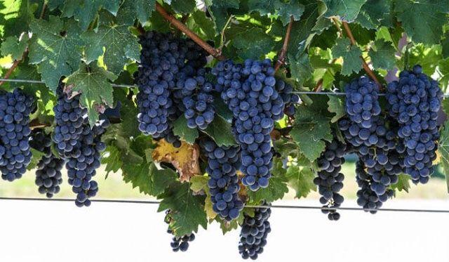 Struguri Cabernet pentru vin