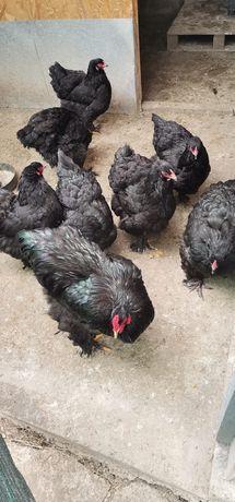 Vand ouă pentru incubat brahma negru si columbia