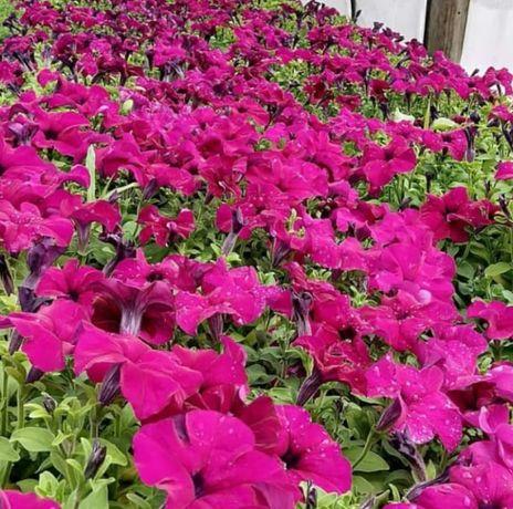 Продажа цветов петунии ПанАмерика ! Уже в цвету!!!