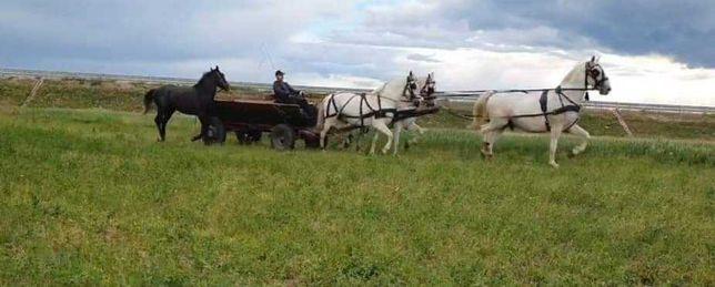 Căruță  cai  armăsar