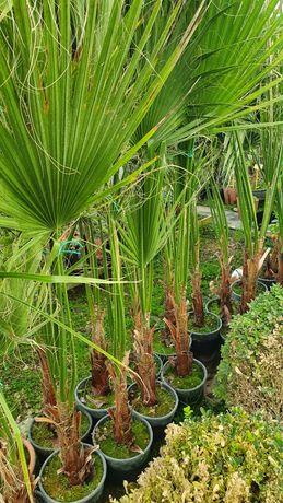 Palmieri ornamenteli