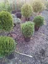 Globuri pe tija, tuja,bonsai,plante ornamentale