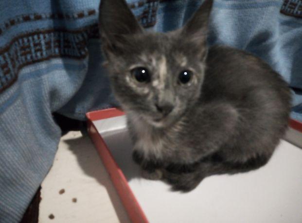 Маргау 3 ай кыз адеми котенок девочка 3 мес красивого окраса