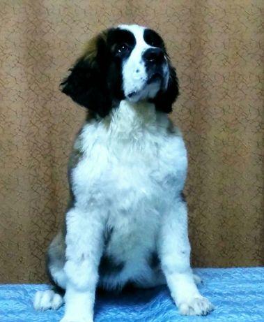 Продам щенка - Сенбернар.