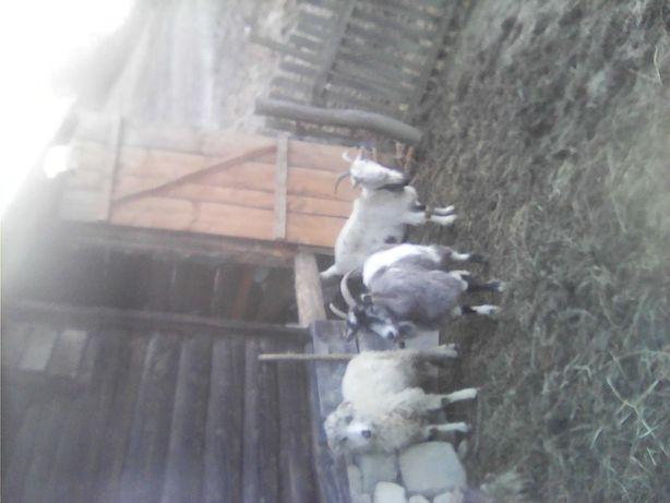 Vând 2 capre și un berbec