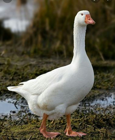 продам живых гусей